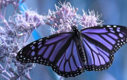 Kelebek Sembolizmi Sizi Şaşırtacak – Kelebekler Meleklerden Gelen İşaretler Mi?