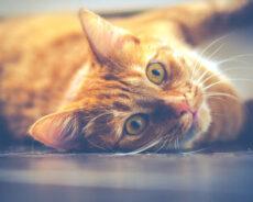 Evinizde Bir Kediniz Varsa, Sağlığınız İçin İyi Olduğu Bilimsel Olarak Kanıtlanmıştır